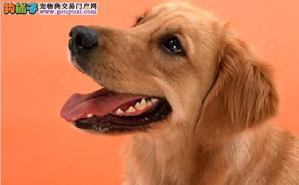 宠物级金毛与赛级金毛犬的区别