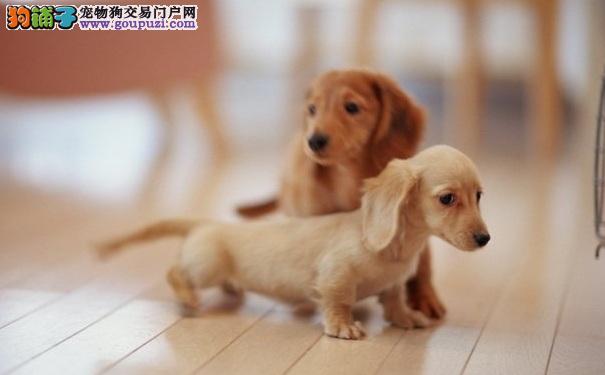 什么是纯种腊肠犬 纯种腊肠犬在哪里买