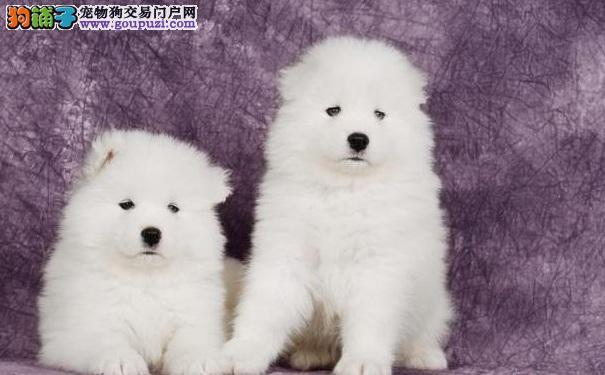 认识了解萨摩耶雪橇犬 萨摩耶犬容易患哪些疾病