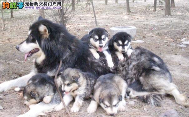 选购优秀的阿拉斯加犬要点 买阿拉必读
