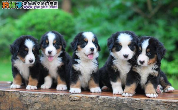 如何挑选伯恩山犬幼犬 选购健康优质伯恩山