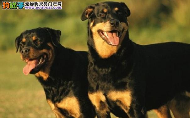 挑选罗威纳犬应该注意的外貌特征5
