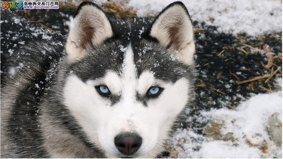 阿拉斯加犬 大力气的苦工犬