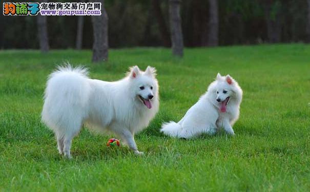 银狐犬到底能长多大