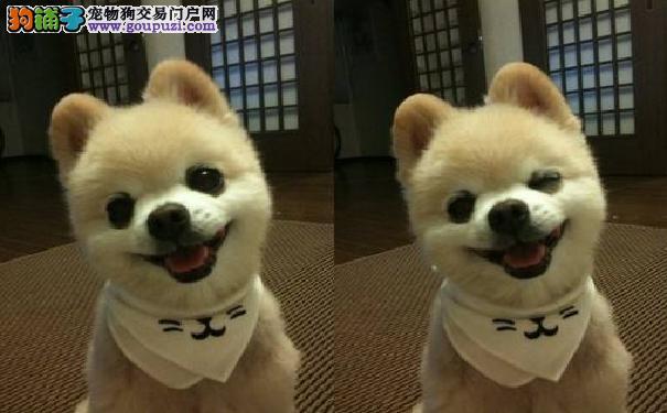 来自日本的俊介君 它们属于哈多利系博美犬