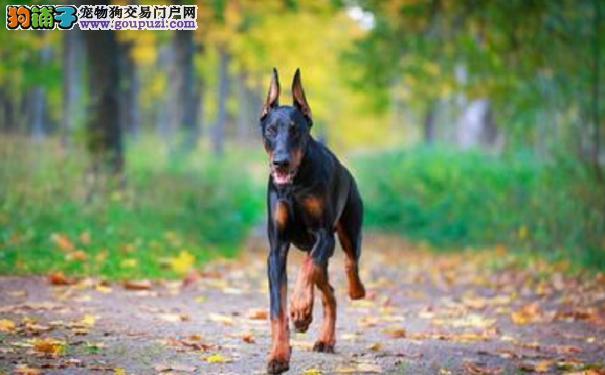 杜宾犬发烧怎么办 首先了解杜宾犬发烧的症状