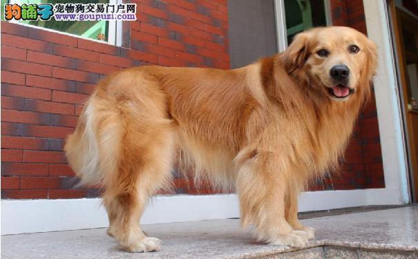 金毛犬怎么训练 教你三种训练金毛幼犬的方法5