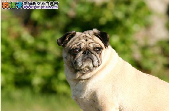 做好巴哥眼睛护理 拒绝巴哥犬眼睛流泪