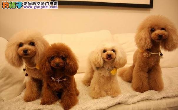 泰迪犬挑食不爱吃饭怎么办 解决泰迪犬挑食有妙招
