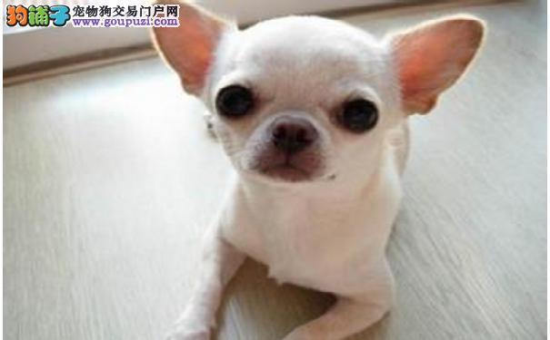 吉娃娃幼犬训练 吉娃娃必须改掉的四大恶习