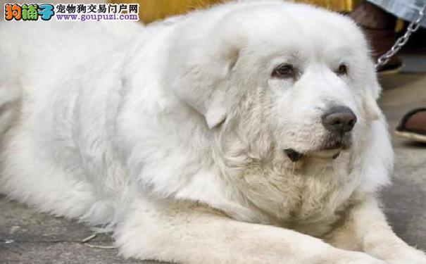 比利牛斯山犬远离牙痛 大白熊牙齿护理注意