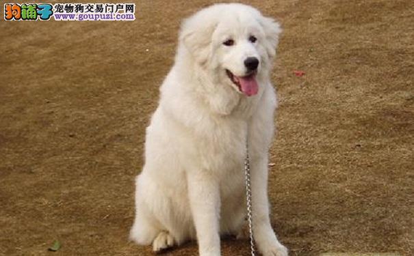 大白熊犬过年吃太好 小心大白熊犬得肠胃炎