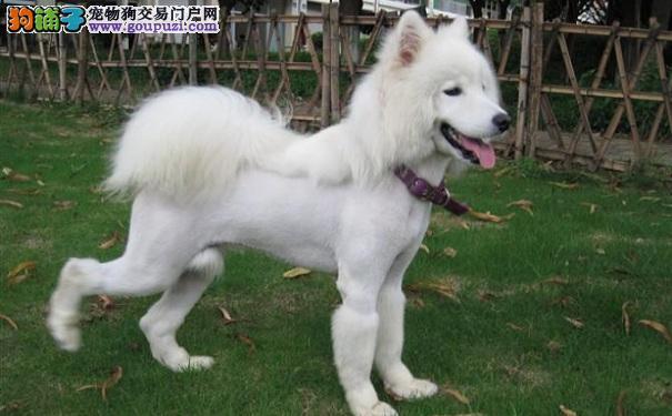 萨摩耶犬的训练要点 萨摩耶的家庭教养