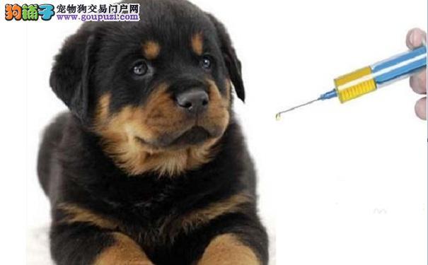 罗威纳犬幼犬注射疫苗应该注意什么