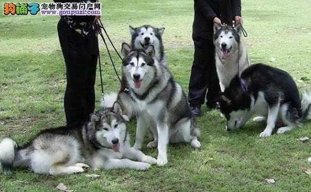 阿拉斯加雪橇犬随从训练 出门让阿拉走身边