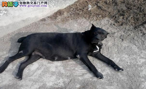 想让卡斯罗犬生宝宝 繁殖卡斯罗犬的考虑事项