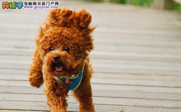 泰迪犬定点大小便的训练