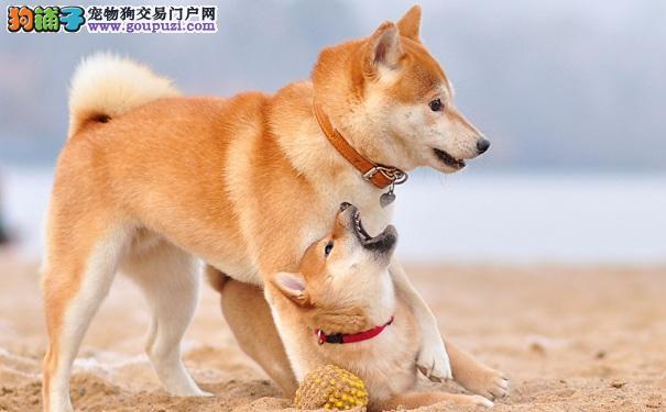 老年秋田犬适量运动好处多 秋田犬散步注意事项