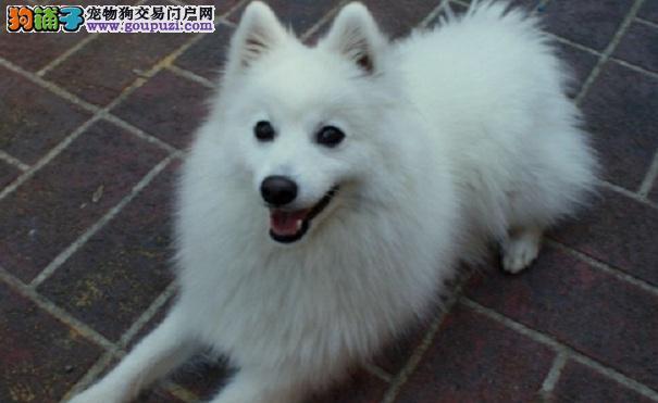 银狐犬被壁蝨吸血 照护除虫的方法