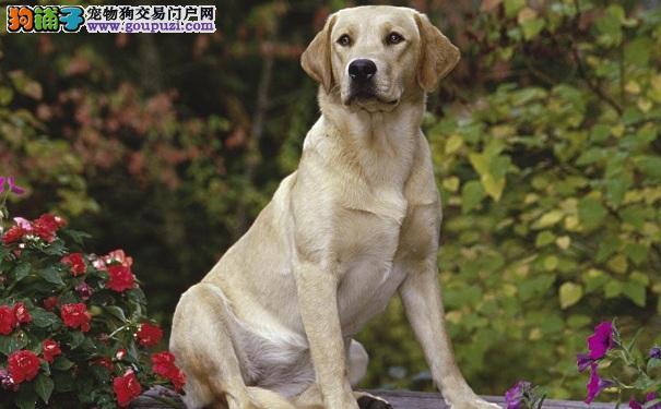 高龄拉布拉多犬检查 狗狗健康又长寿