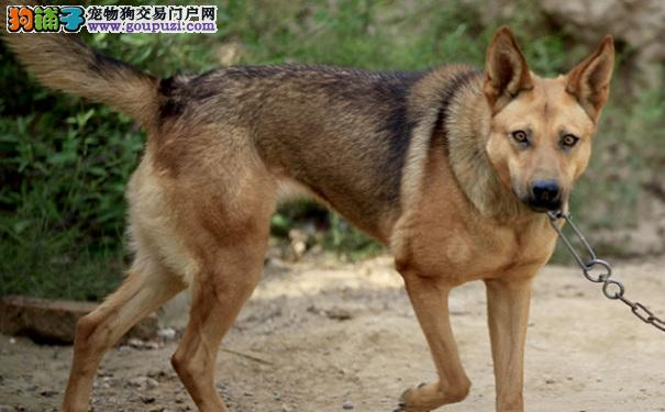 纠正狼狗护食行为 改善狼狗咬人坏习惯