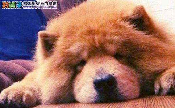 松狮犬消化不良的症状 原因及解决办法
