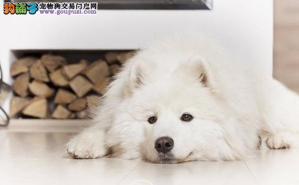 怎么训练萨摩耶趴下 训练萨摩耶犬的方法
