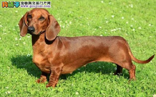 一个月腊肠拉稀怎么办 腊肠犬腹泻5