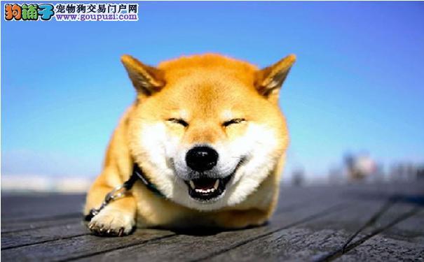 怎么训练柴犬 先放松巴西犬紧张排斥的情绪
