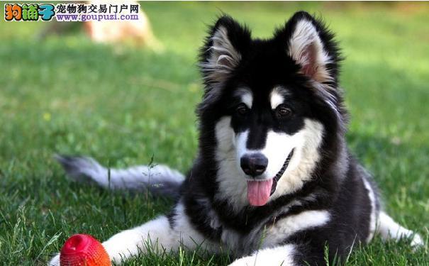 阿拉斯加口腔护理 判断阿拉斯加雪橇犬口腔异常现象