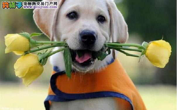 五种拉布拉多不能吃的食物 拉布拉多可以吃水果吗