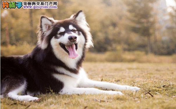阿拉斯加雪橇犬吃大便怎么办? 对付二哈吃大便有方法