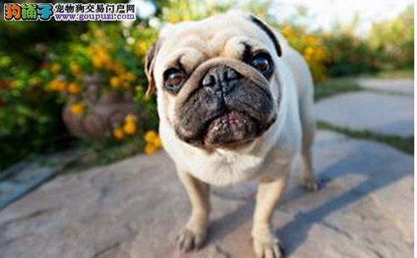 巴哥犬患关节炎 饲料应避免含谷类