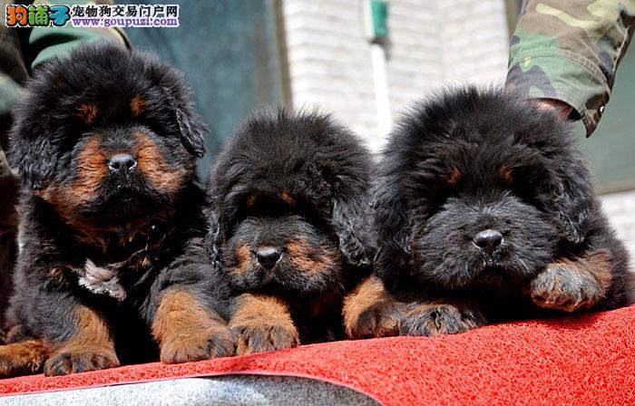 纯血统藏獒,种犬全部国外引进幼犬多只可挑选