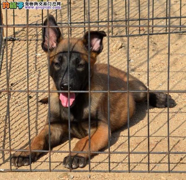实体店热卖马犬颜色齐全均有三证保障