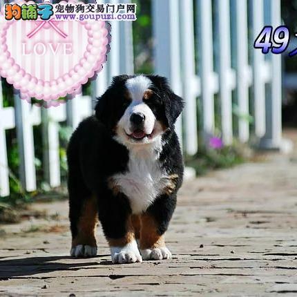 昌吉州售伯恩山犬身体健康上门选购伯恩山有优惠送狗粮