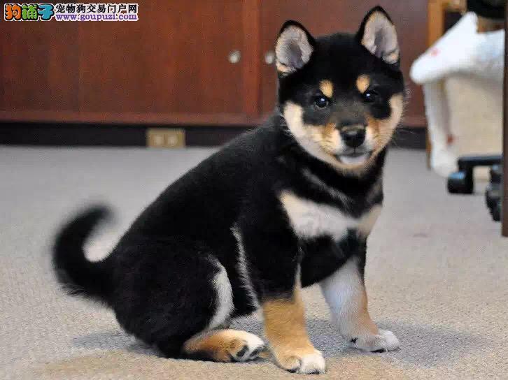 东方市直销日系柴犬黄色黑色柴犬幼犬健康聪明好养