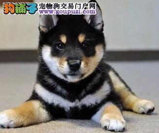 吐鲁番售忠诚漂亮柴犬日系柴犬 疫苗齐全品相好