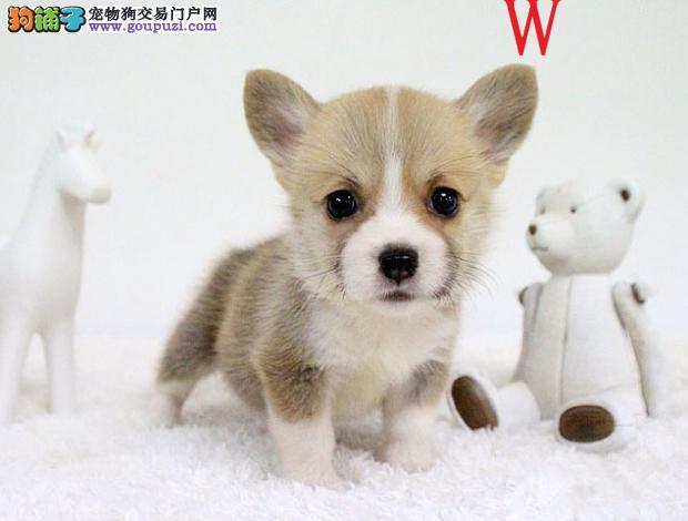 宁波专业繁殖纯种威尔士柯基犬超萌小短腿两色三色都有