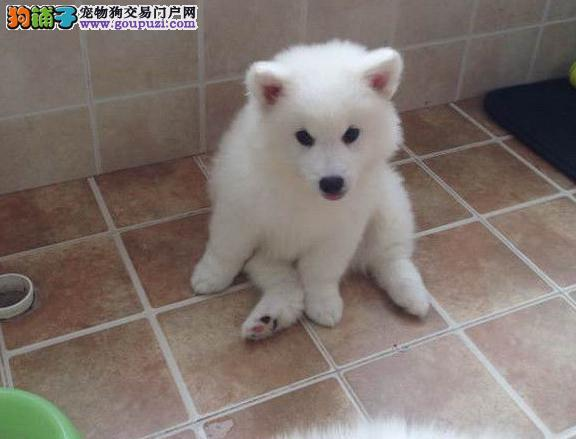 贵阳自家狗场繁殖直销银狐犬幼犬送用品送狗粮