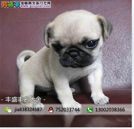 精品巴哥幼犬出售 可上门挑选签质保协议