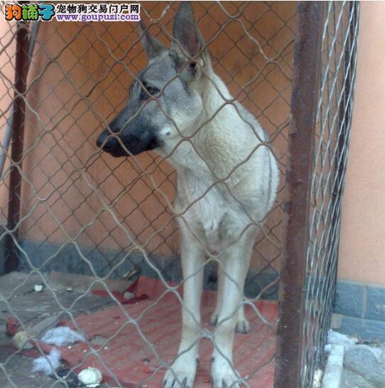 专业正规犬舍热卖优秀的长沙大丹犬我们承诺终身免费售后3