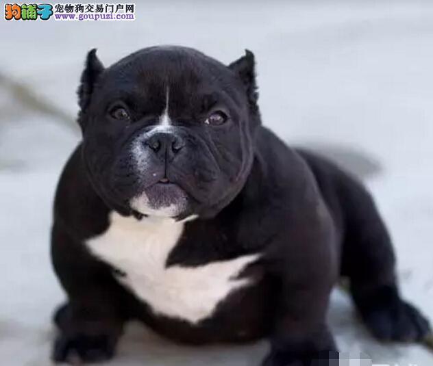 赛级品相丽水美国恶霸犬幼犬低价出售可刷卡可视频