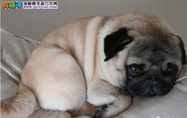 超级精品巴哥犬,自家繁殖保养活,签署合同质保