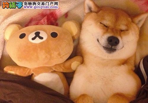上海出售高品质健康纯种日系柴犬狗场直销柴犬养死包换