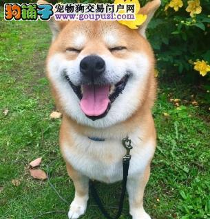 日本柴犬幼犬西巴犬 日本柴犬公母全伊春出售