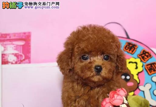哪里卖纯种泰迪犬各种颜色火爆销售中CKU专业认证犬舍