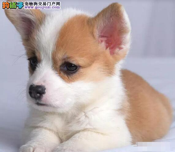 广州售纯种柯基犬疫苗已做,超级健康,一个个都肥肥的