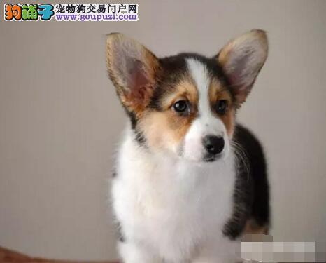 安康市售双色三色柯基幼犬 维尔市科技女王犬幼犬