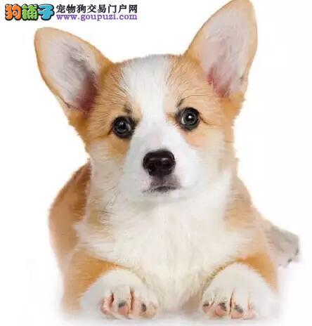 短腿柯基犬幼犬 三色威尔士柯基幼犬白城市售多窝可选